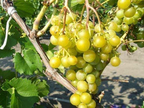 Виноград Мускат Катунский