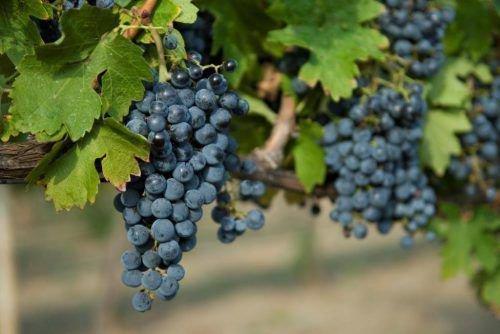 Виноград «Одесский черный»