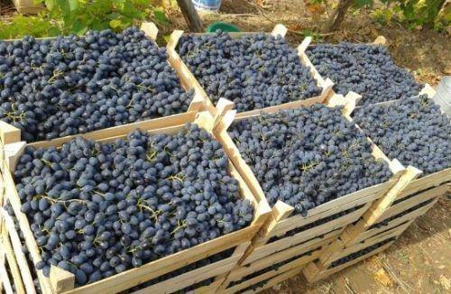 Виноград «Осенний черный»