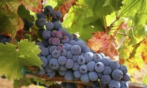 Виды черного винограда