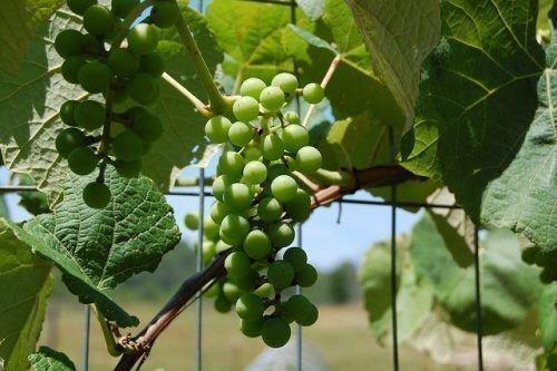 Виноград плодоносит