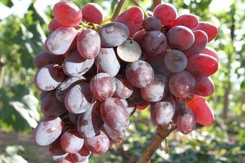 Виноград Подарок Ирине