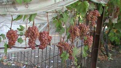 Виноград Проминь