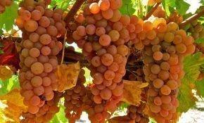 Важные признаки для определения сортов винограда