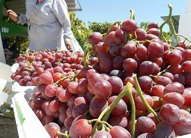 Виноград Скарлет урожай