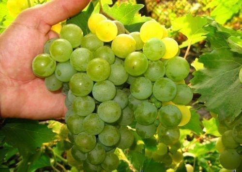 Виноград сорт Дружба