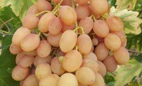 Описание сорта винограда самба