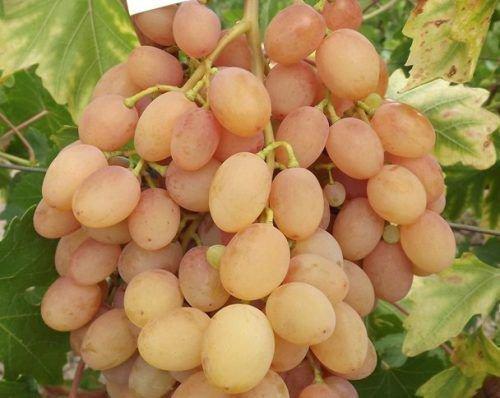 Виноград сорта Самба