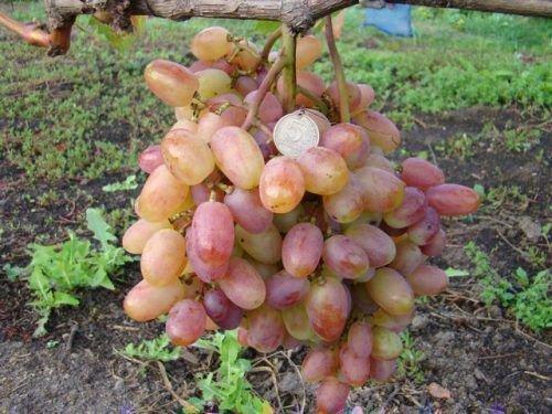 Виноград сорта Виктор