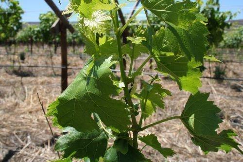 Виноград сорта Виктор молодой куст