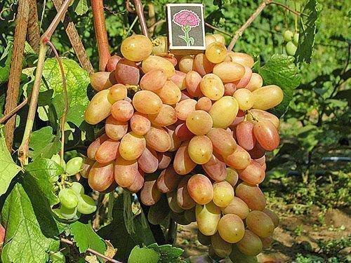 Виноград сорта Виктор на опоре