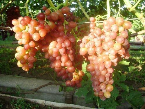Виноград Тасон грозди