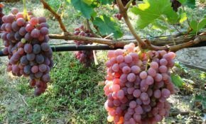 Столовые сорта  винограда красного цвета – дети солнца и тепла