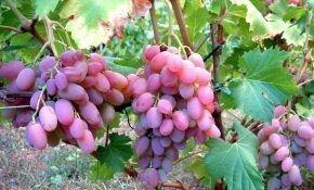 Сорт винограда: Водограй
