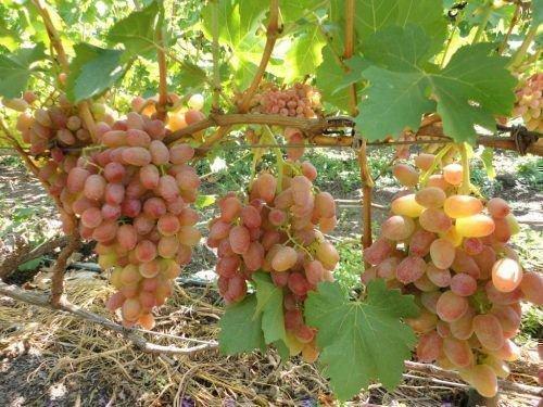 Виноград Водограй куст