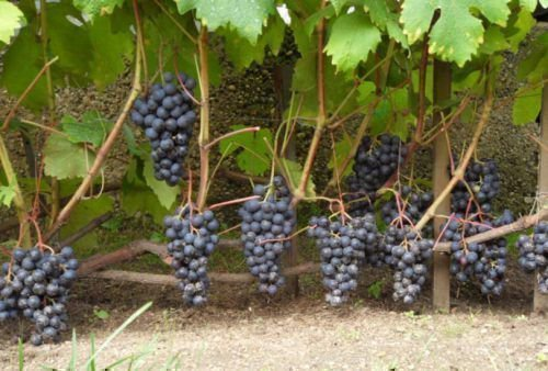Виноград «Восторг черный»
