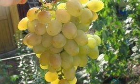 Сорт винограда: Восторг мускатный