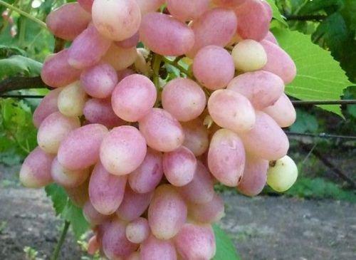 Виноград Золотушка