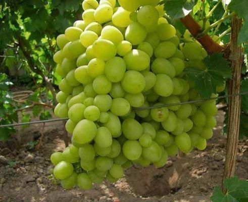 Виноград сорта Ланселот