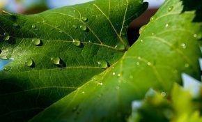 Обработка винограда после дождей