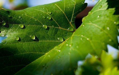 Виноградник после дождя