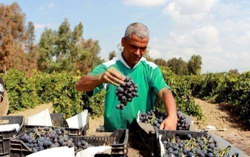 Виноградники Алжира