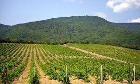 История развития виноградников в России
