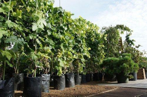 Виноградные саженцы из питомника