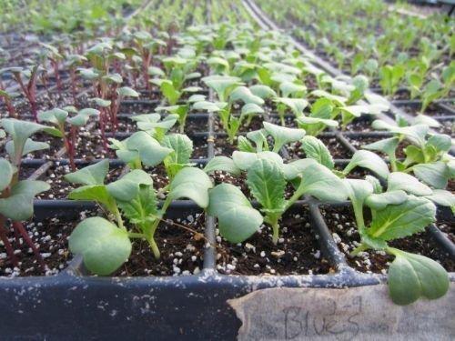 Выращивание пекинской капусты рассадой