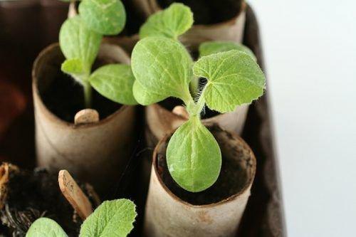 Выращивание тыквы рассадой