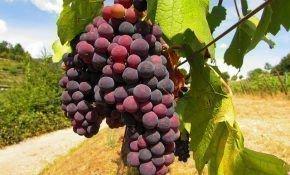 Выращивание винограда из семян, черенков для начинающих