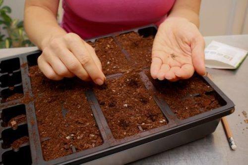 Выращивание винограда из семени