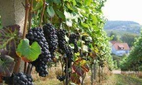 Последовательное выращивание винограда на территории Алтая