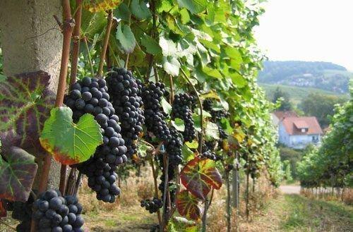 Выращивание винограда на Алтае