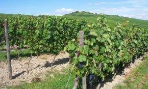 Выращивание винограда на северо-западе