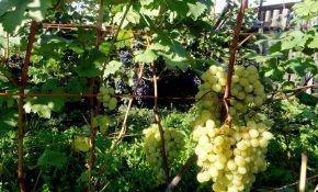 Виноград в Сибири: выращивание и уход весной