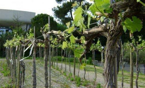 Высокий штамб винограда