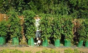 Как выращивать высокорослые сорта помидор