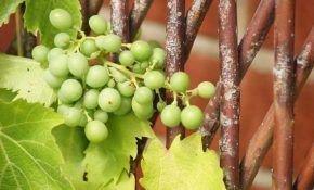 Все болезни ягод винограда: как бороться