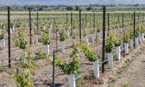 Умение заложить виноградник - залог высокого урожая