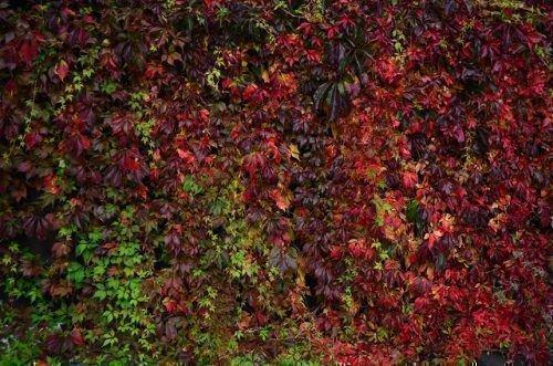 Заросли девичьего винограда