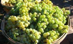Определение срока сбора винограда
