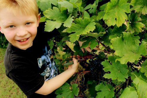 Срезание винограда