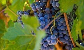 Сорт винограда Родина: общее описание