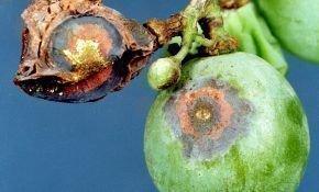 Антракноз винограда: лечение и профилактические меры