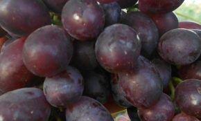 Гибридный багровый виноград