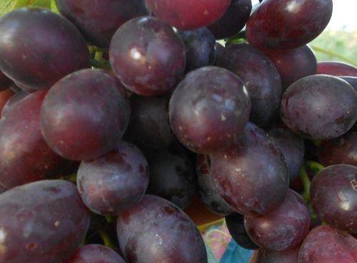 Багровый сорт винограда