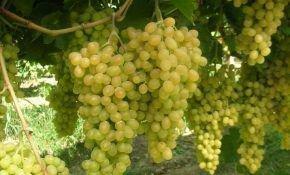 Уровень калорийности зеленого винограда кишмиш