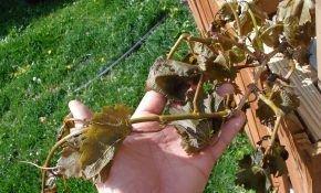 Существующие заболевания винограда и основные методы лечения