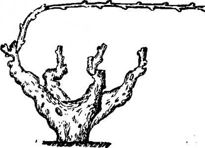 Чашевидное формирование